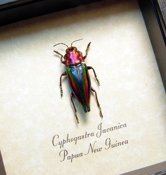 Cyphogastra javanica Rainbow Jewel Beetle