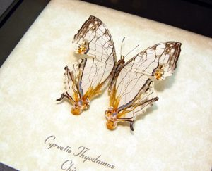 Cyrestis thyodamus Road Map Butterfly