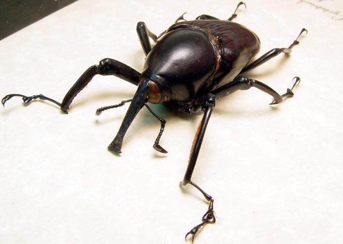 Cyrtotrachelus dux Bamboo Weevil Beetle
