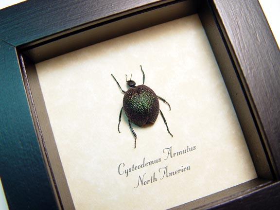Cysteodemus armatus Green Desert Blister Beetle