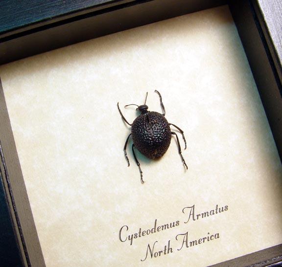 Cysteodemus armatus Desert Blister Beetle