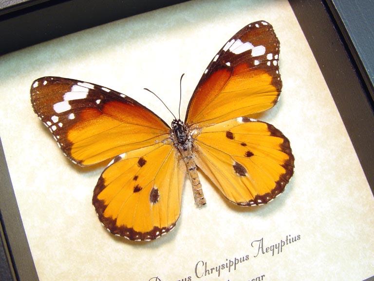 Danaus chrysippus aegyptius African Monarch