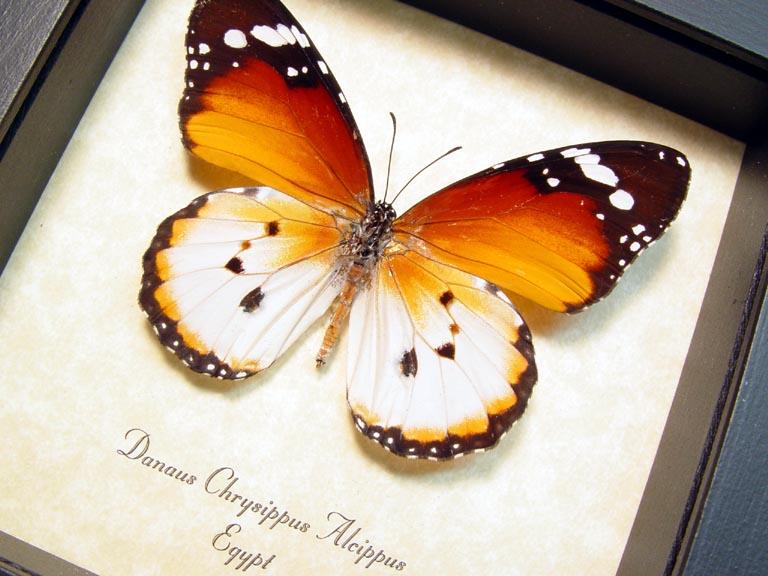 Danaus chrysippus alcippus African Monarch Butterfly