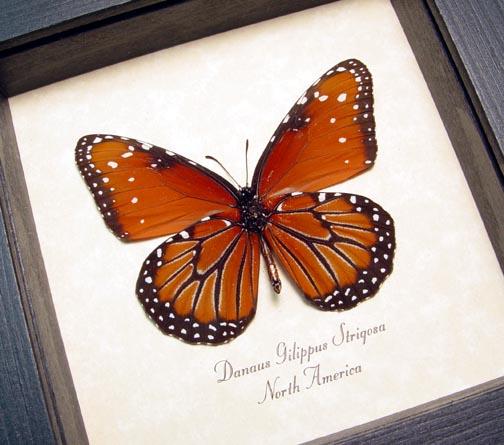 Danaus gilippus strigosus Queen Butterfly