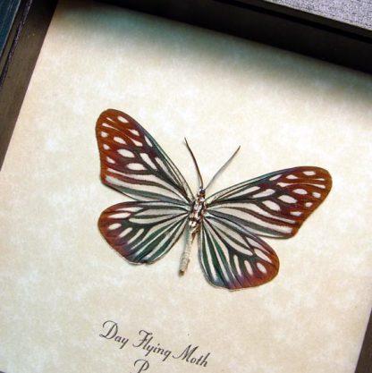 Day Flying Moth blue Real Framed Peruvian Moth