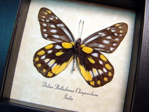 Delias Belladonna Chrysorrhoea Butterfly Designs Real
