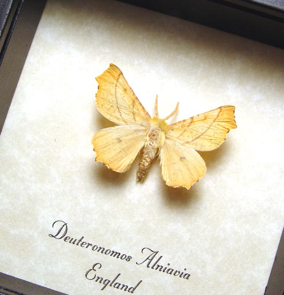 Deuteronomos alniavia Golden Moth