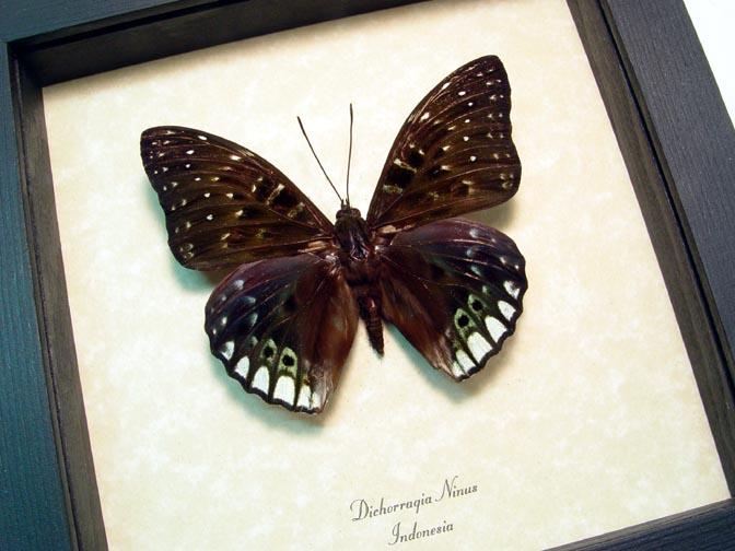 Dichorragia ninus Green Butterfly