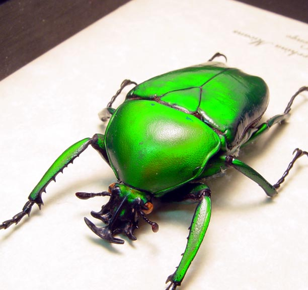 Dicronorrhina micans Male Beetle