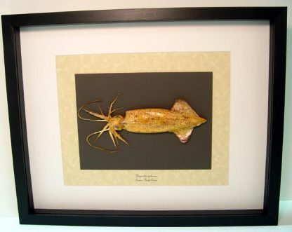 Doryteuthis opalescens Opalescent Inshore Large Squid Real Framed