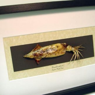 Doryteuthis opalescens, The Opalescent Inshore Squid Real Framed