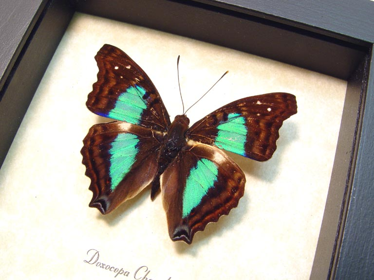 Doxocopa cherubina Turquoise Emperor