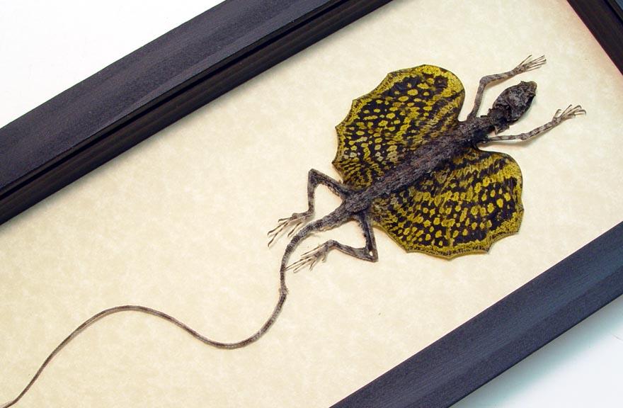 Draco Flying Lizard Gold Framed Flying Dragon