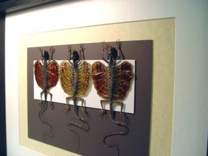Set Of 3 Flying Dragon Lizard Collection Taxidermy Draco sp gold orange lizards Real Framed