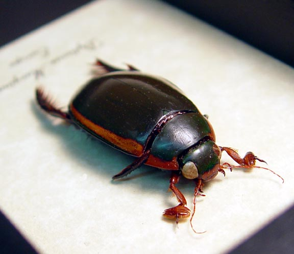Dytiscus marginalis Predaceous Diving Beetle