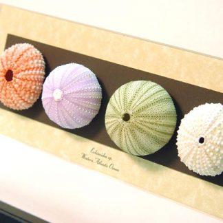 Echinoidea sp Collection Purple, Pink, Green & White Sea Urchins Real Framed Seashell Shell