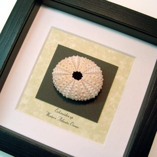 Echinoidea sp Light Pink Sea Urchin Real Framed Seashell Shell