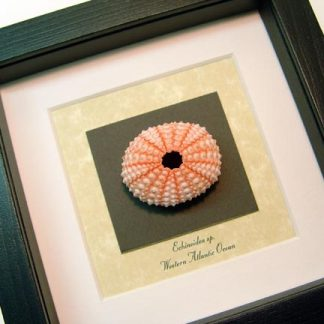 Echinoidea sp Pink Sea Urchin Real Framed Seashell Shell