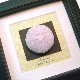 Echinoidea sp Purple Sea Urchin Real Framed Seashell Shell
