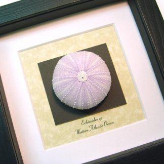 Echinoidea sp Purple Sea Urchin Real Framed Seashell Shell