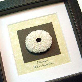 Echinoidea sp White Sea Urchin Real Framed Seashell Shell