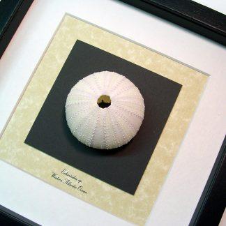 Echinoidea sp Large White Sea Urchin Real Framed Seashell