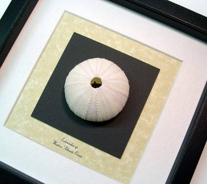 Echinoidea sp Large White Sea Urchin Real Framed Seashell