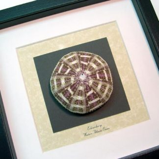Echinoidea sp Large Multi Colored Sea Urchin Real Framed Seashell