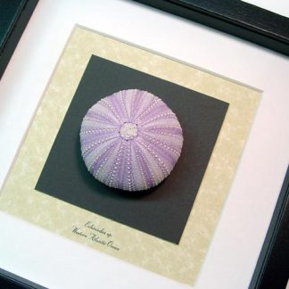 Echinoidea sp Large Purple Sea Urchin Real Framed Seashel