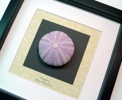 Echinoidea sp Large Purple Sea Urchin Real Framed Seashel