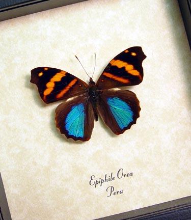 Epiphile orea Orea Banner Metallic Blue Butterfly