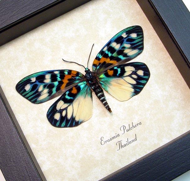 Erasmia pulchera verso Day Flying Moth