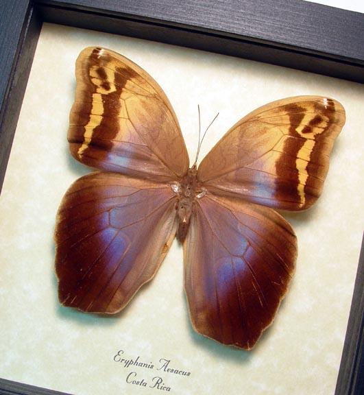 Eryphanis aesacus Female Owl Butterfly