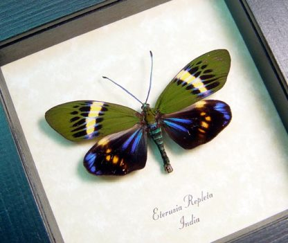 Eterusia repleta Male Day Flying Moth Real Framed Metallic blue Moth
