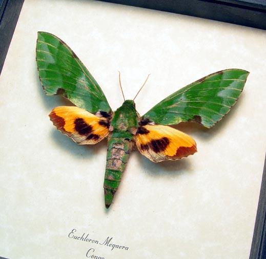 Euchloron megaera Verdant Hawk Green Orange Moth African Hawk Moth
