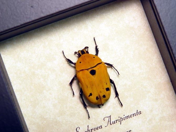 Euchroea auripimenta Flower Beetle