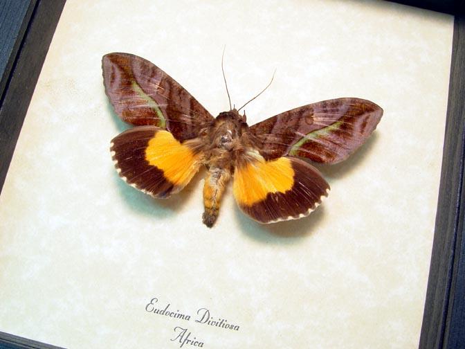 Eudocima divitiosa Spotless Underwing Moth