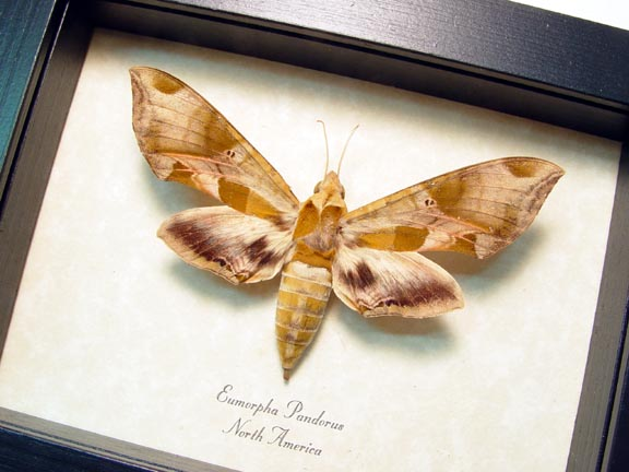 Eumorpha pandorus Pandora Sphinx Moth