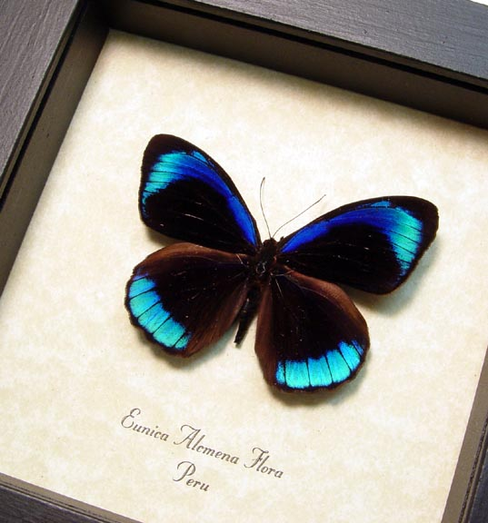 Eunica alcmena flora Metallic Blue Butterfly