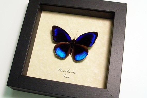 Eunica eurota Electric Blue Butterfly