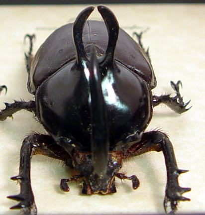 Eupatorus birmanicus Rabbit Ear Beetle