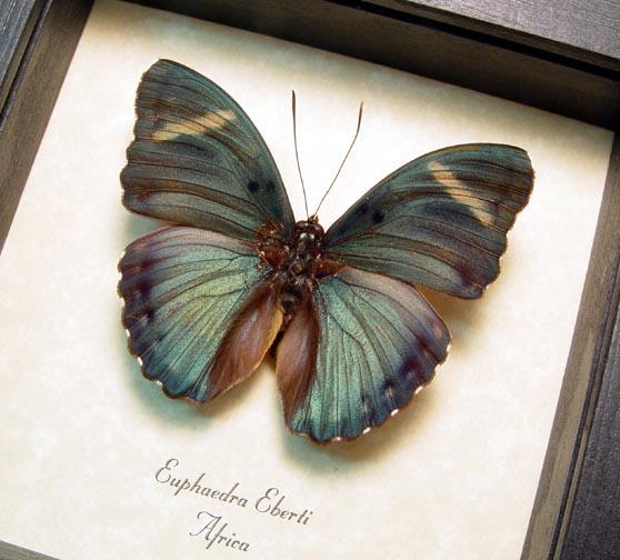 Euphaedra eberti Forester Butterfly