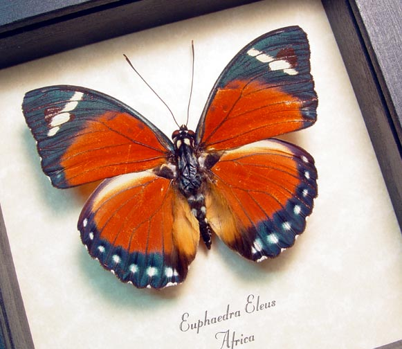 Euphaedra eleus Orange Forester