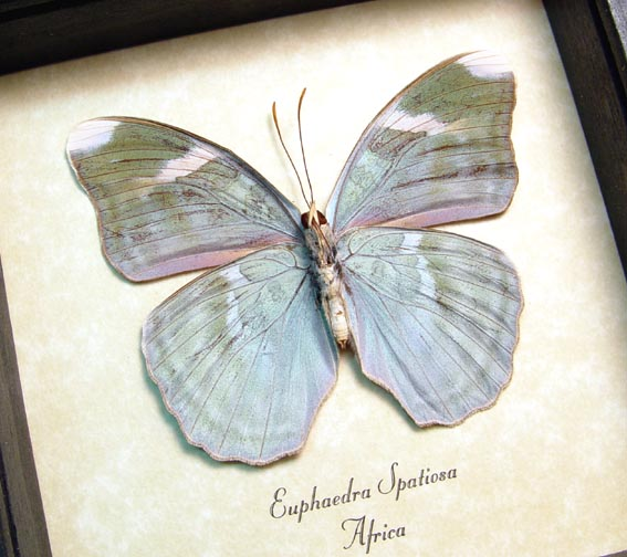 Euphaedra spatiosa Green Forester Butterfly