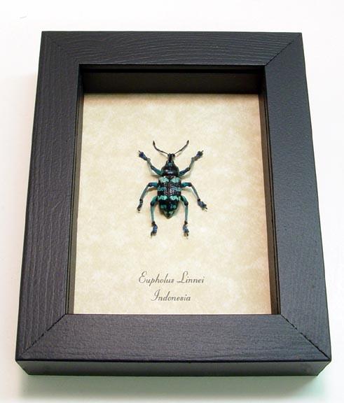 Eupholus linnei Blue Weevil