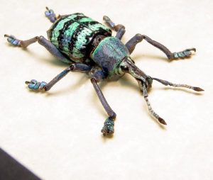Eupholus magnificus Green Blue Banded Weevil