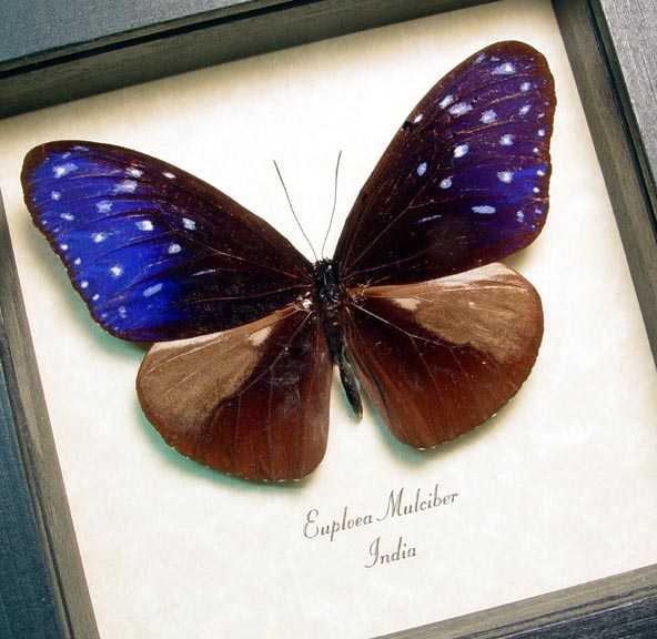 Euploea mulciber Striped Blue Crow Butterfly