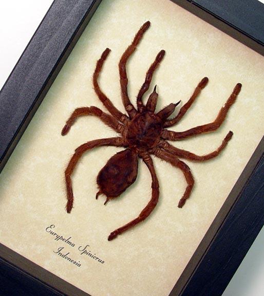 Euryplema spinicrus med Framed Tarantula Spider