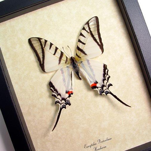 Eurytides Protesilaus Zebra Swallowtail White Butterfly
