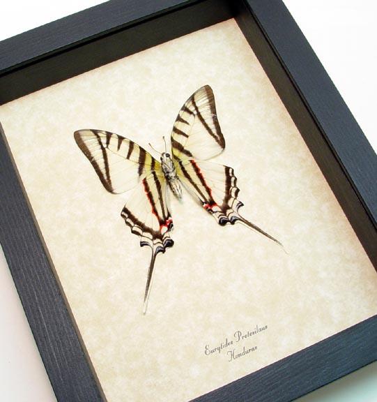 Eurytides protesilaus Verso Zebra Swallowtail